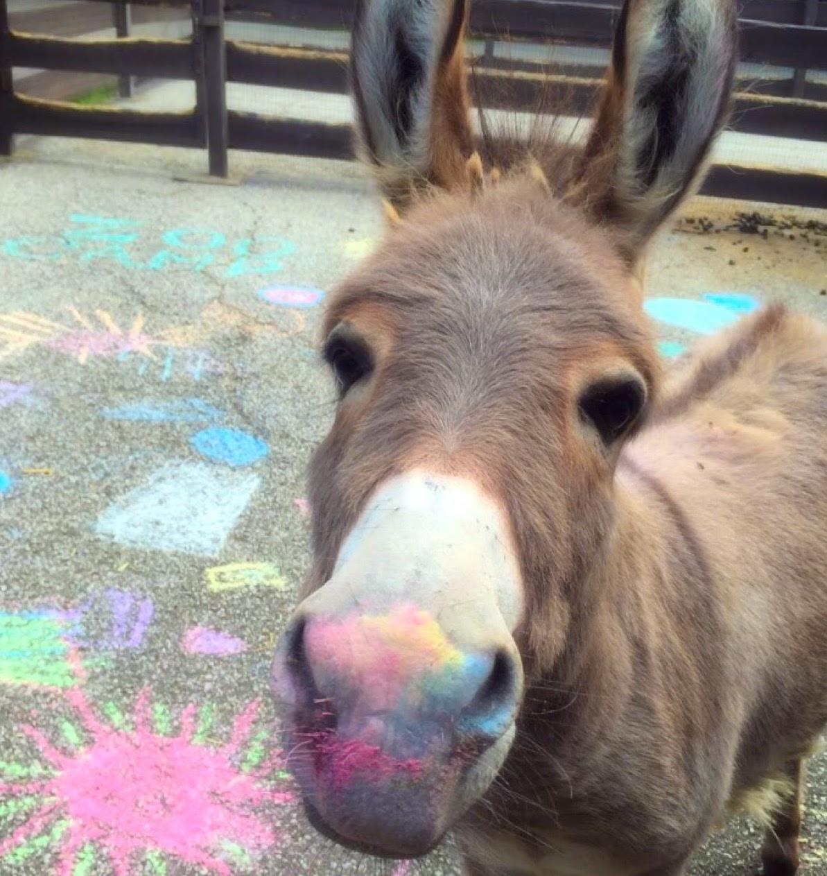 Miniature Donkeys photo