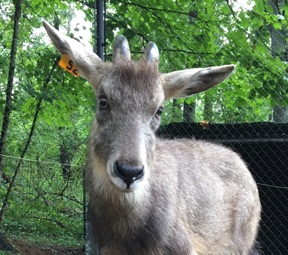 Central Chinese Goral photo