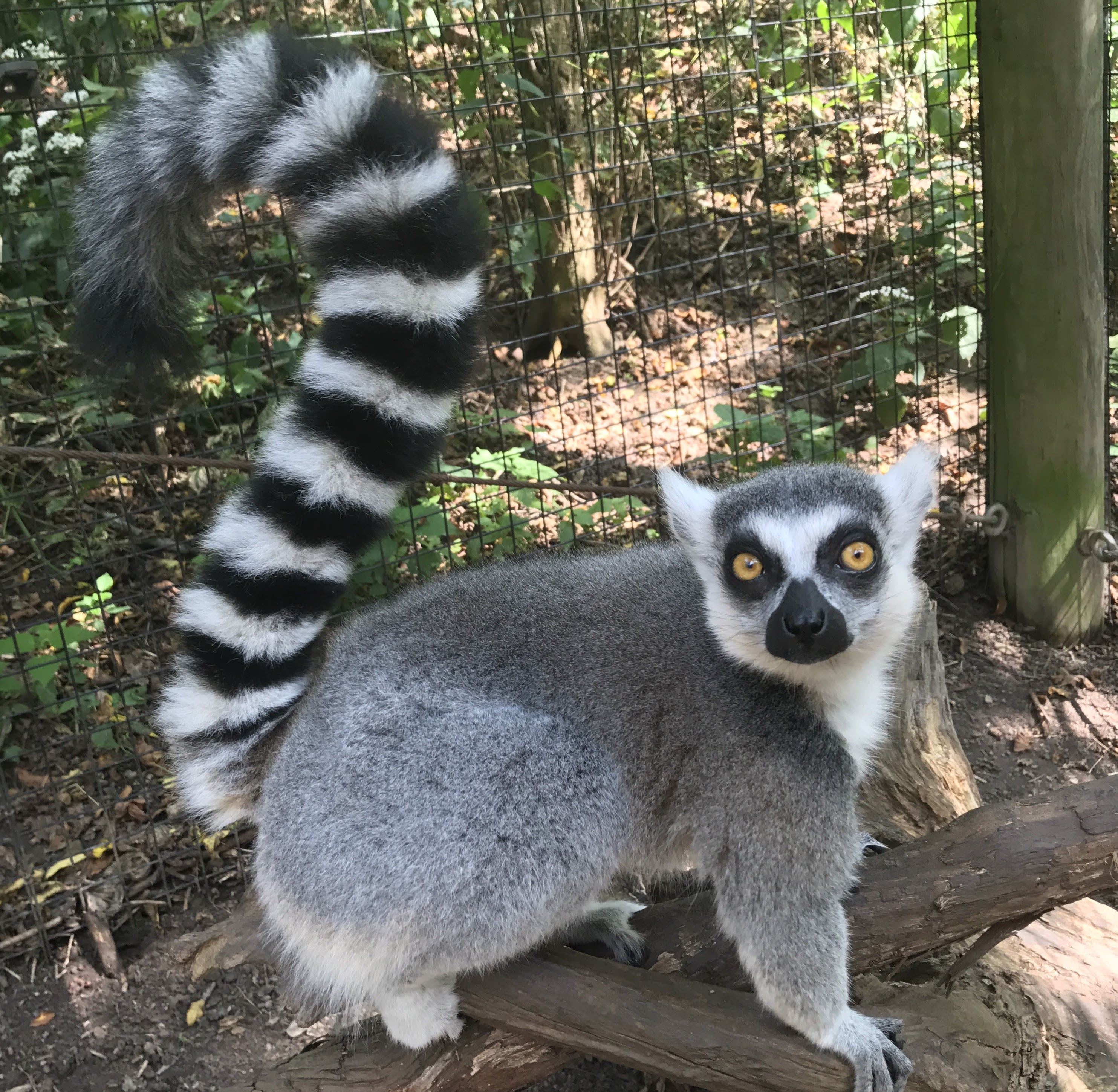 Ring-tailed Lemurs photo