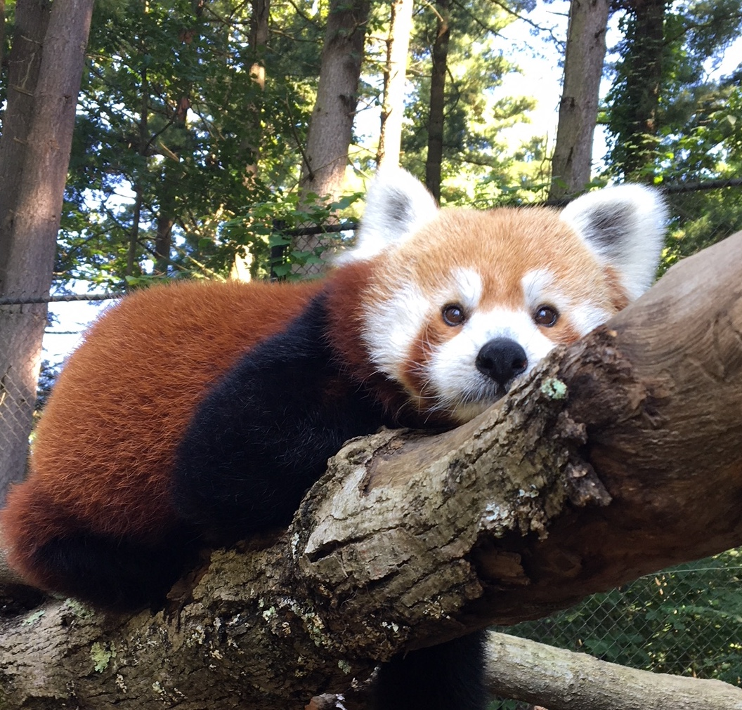 Red Pandas photo