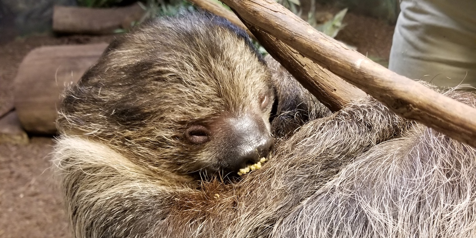 Two-Toed Sloth Encounter photo