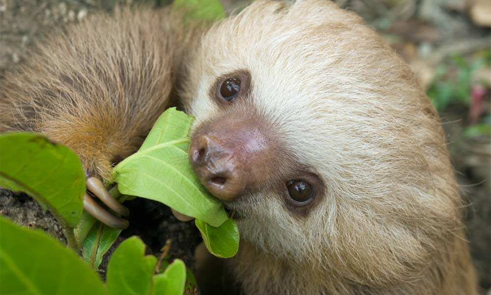 Linne's Two-toed Sloth photo