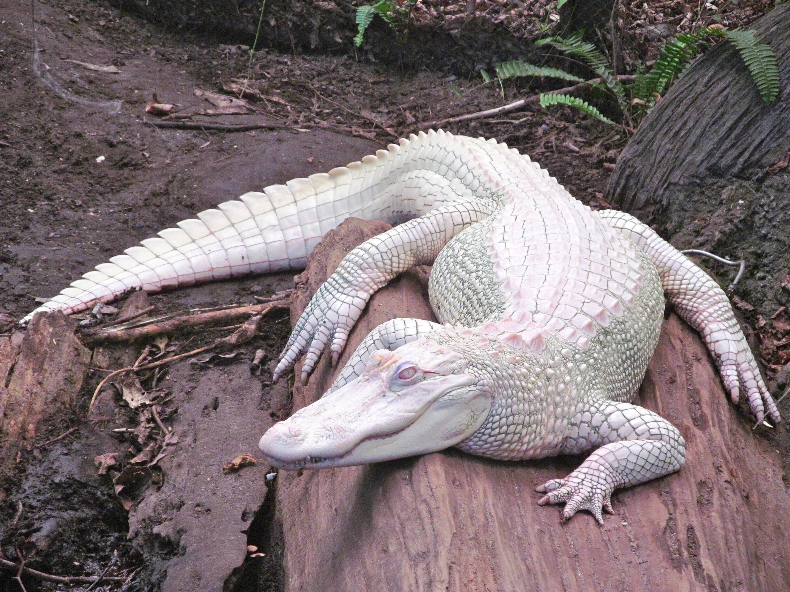 American Alligator photo