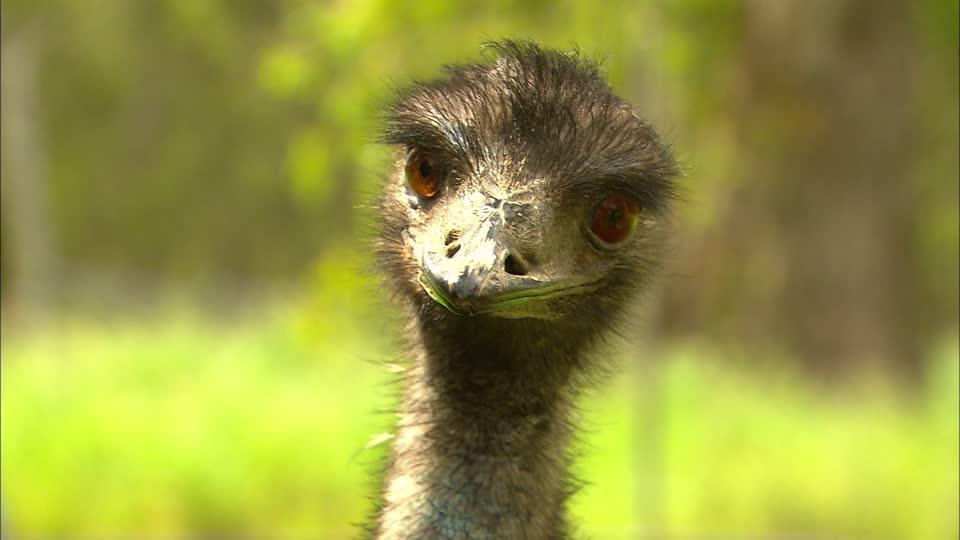 Emus photo