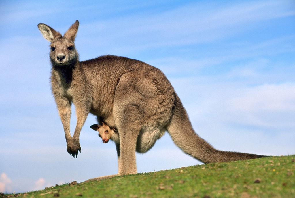 Kangaroos and Wallabies photo