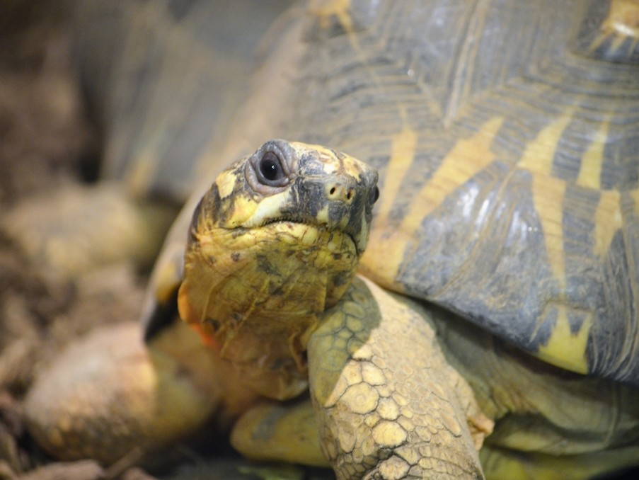 Radiated Tortoises photo
