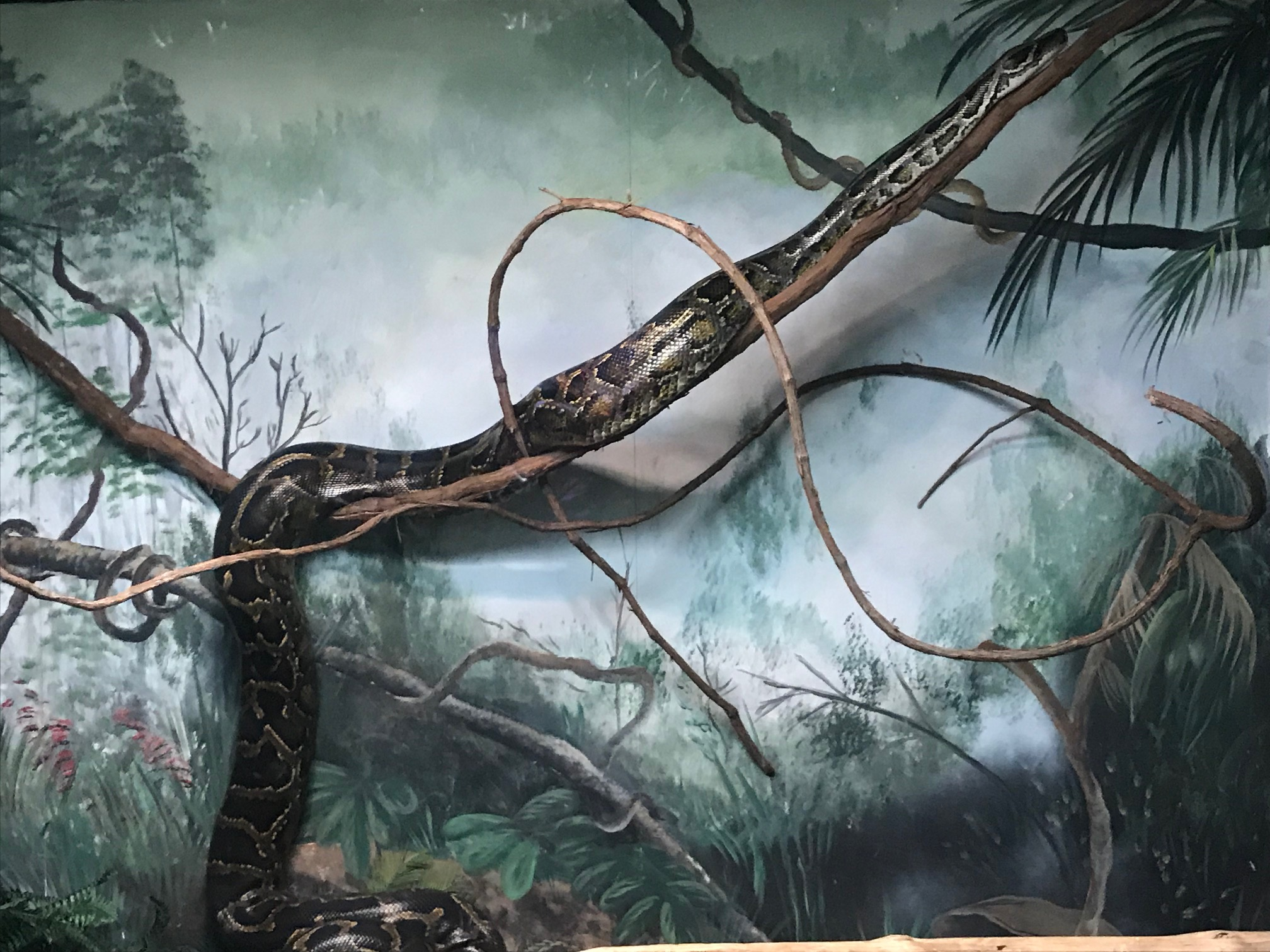 Burmese Python photo