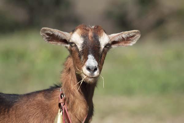 Domestic Goats photo
