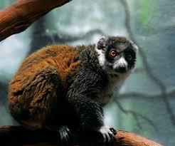 Mongoose Lemurs photo