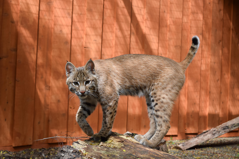 Bobcat Experience photo