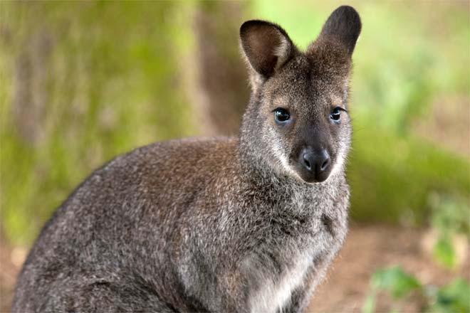 Wallaby Encounter photo