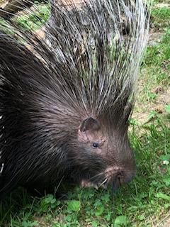 Cape Porcupines photo